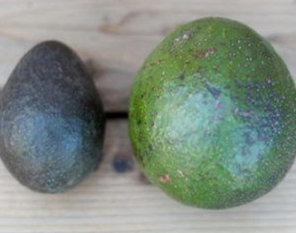 Reed avocados are here!
