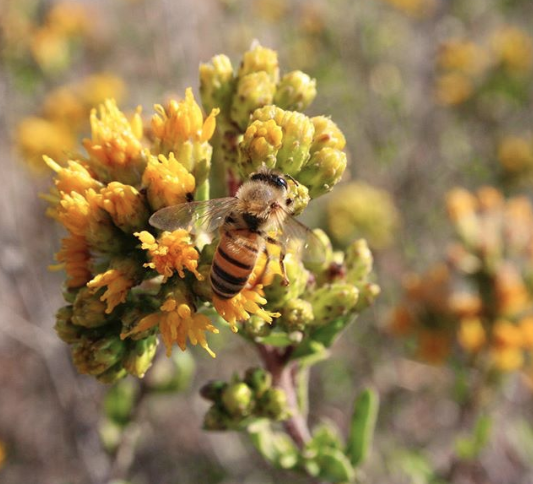 Honeybee foraging California wildflowers. Photo courtesy @mikolichhoney on Instagram.